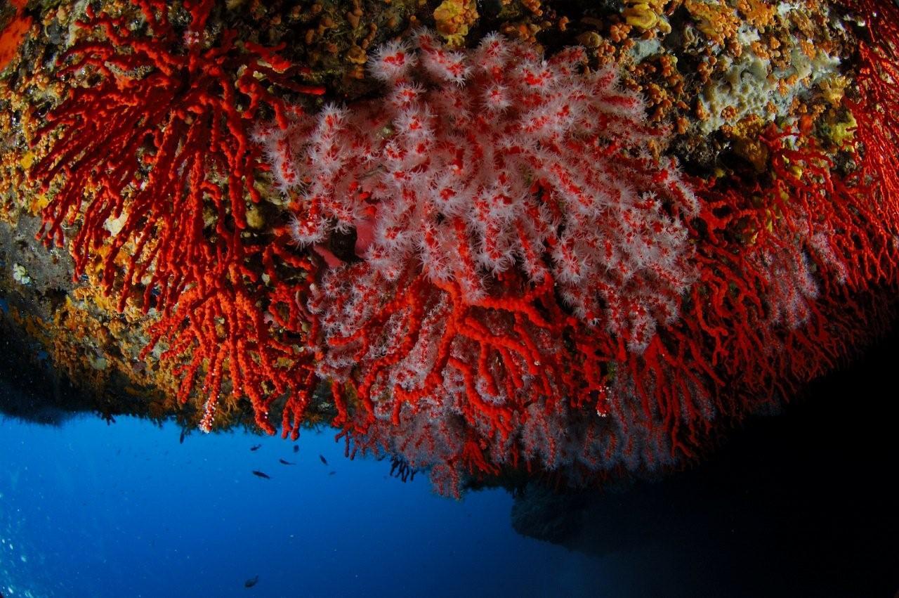 Coraux sur plafond de grotte sous-marine